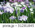 花菖蒲 31281845