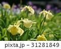 花菖蒲 31281849