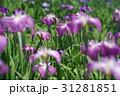 花菖蒲 31281851