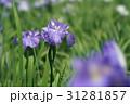 花菖蒲 31281857