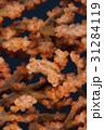 サンゴに擬態するピグミーシーホース(タツノオトシゴ) 31284119