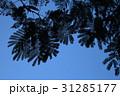 青空と枝葉のシルエット 31285177