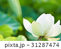 蓮の花 一輪 31287474