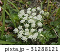 稲毛海岸に帰ってきたハマボウフウの白い花 31288121