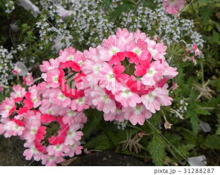 小さい花が頭上に着くビジョザクラの桃色の花 31288287