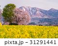 春の飯山菜の花公園 31291441