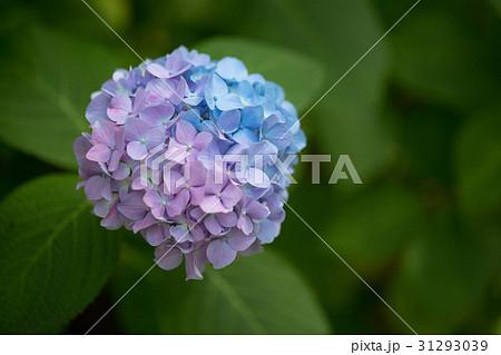 2色、レインボー虹色のあじさいのクロースアップ 31293039