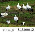 コウノトリ コウノトリの郷公園 野鳥の写真 31300012