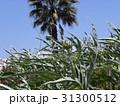 青空にヤシの木とカールドンの蕾 31300512