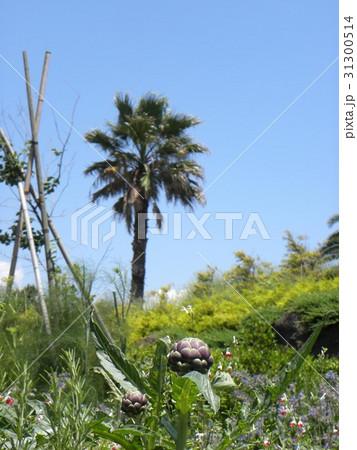 青い空とヤシの木とアンテーチョークの蕾 31300514