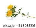 ホワイト お花 フラワーの写真 31303556