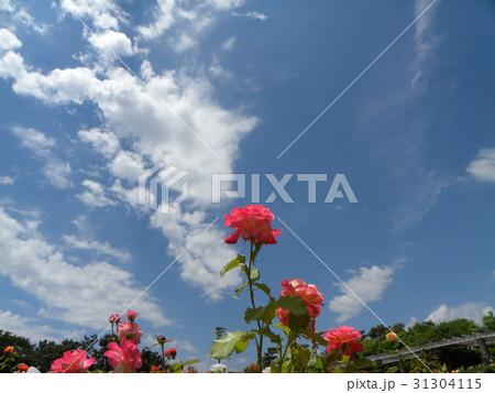 習志野市バラ園の夏の白い雲と青い空それにヤシの木 31304115