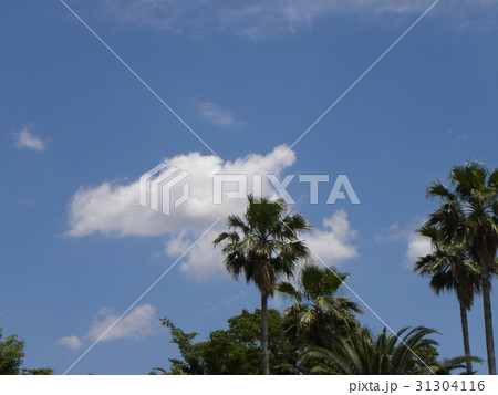 習志野市バラ園の夏の白い雲と青い空それにヤシの木 31304116