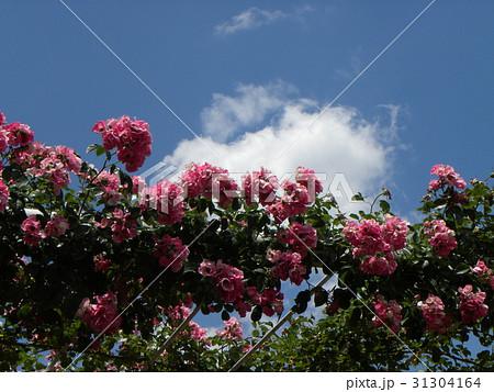習志野市バラ園の夏の白い雲と青い空それにバラの花 31304164