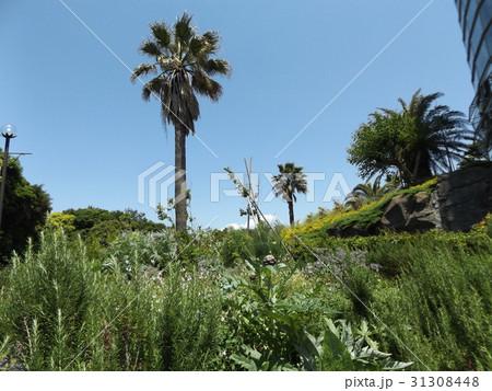 青い空にヤシの木とアンテーチョークの紫色の蕾 31308448