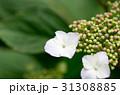 紫陽花 つぼみ あじさいの写真 31308885