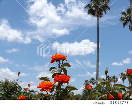 習志野市のバラ園の赤いバラとヤシの木 31317773