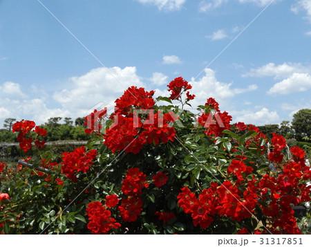 習志野市のバラ園の赤いバラ 31317851