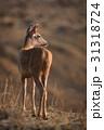 Male sambar deer turns head towards sun 31318724