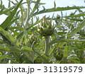 アンテーチョークの原種と言われるカールドンの蕾 31319579