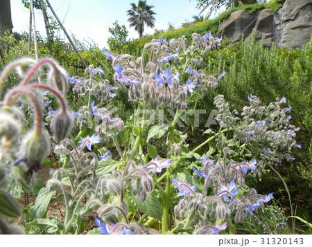 星型の青い花はボリジの花 31320143