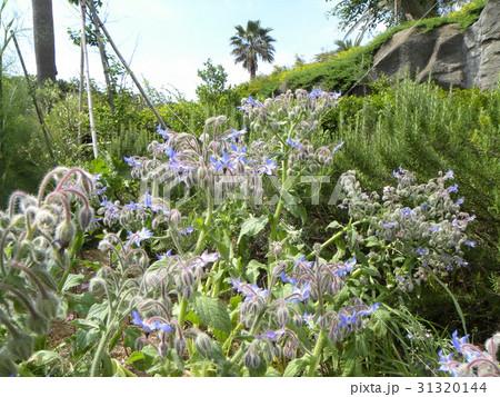 星型の青い花はボリジの花 31320144