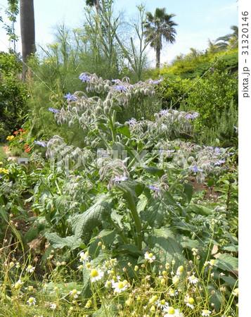 星型の青い花はボリジの花 31320146