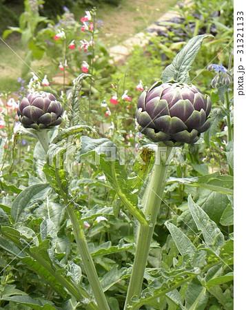 アザミの大きいような花の咲くアンテーチョークの紫色の蕾 31321133