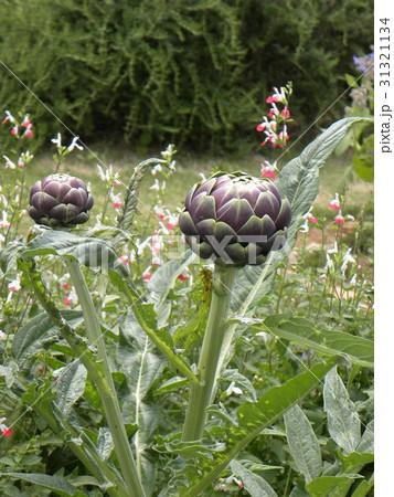 アザミの大きいような花の咲くアンテーチョークの紫色の蕾 31321134