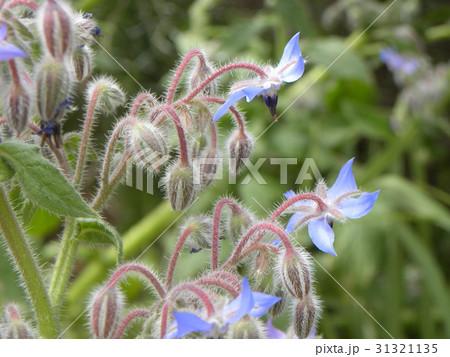 星型の青い花はボリジの花 31321135