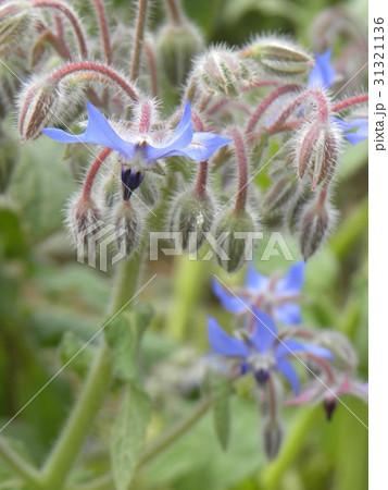 星型の青い花はボリジの花 31321136