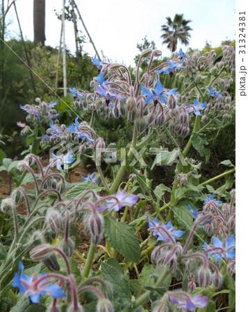 星型の青い花はボリジの花 31324381