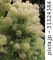 煙のようなのは花でしょうか?スモークツリー 31324384