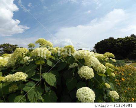 ハイドランジアアナベルというアジサイの白い花と青い空 31324991