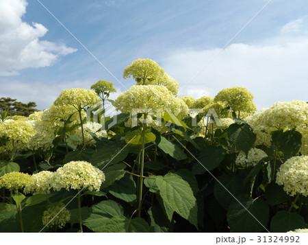 ハイドランジアアナベルというアジサイの白い花と青い空 31324992