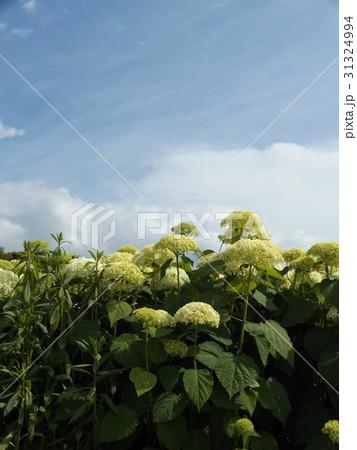 ハイドランジアアナベルというアジサイの白い花と青い空 31324994