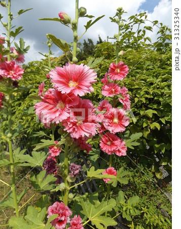 夏の青空に良く合うタチアオイの赤い花 31325340