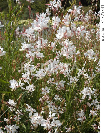蝶のような形の白い花ガウラ 31325341