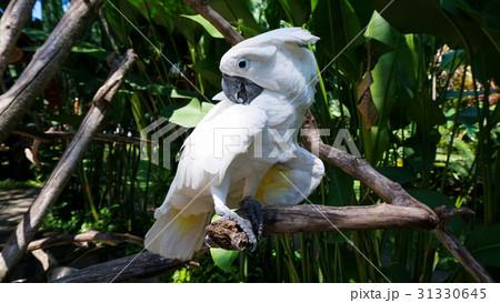 Pretty parrot is staring, Bali, Summerの写真素材 [31330645] - PIXTA