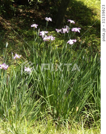 片倉城址公園の池のハナショウブの紫縁取りに白の花 31339623
