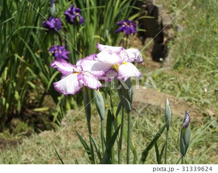 片倉城址公園の池のハナショウブの紫縁取りに白の花 31339624