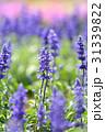 ブルーサルビア ファリナセア サルビア・ファリナセアの写真 31339822