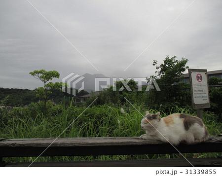 桜島と猫 2017.6.6.  31339855
