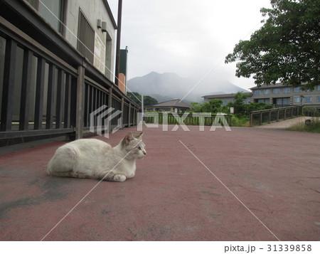 桜島と猫 2017.6.6.  31339858