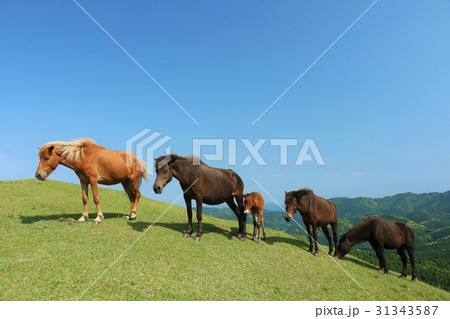宮崎県 都井岬の馬たち 31343587