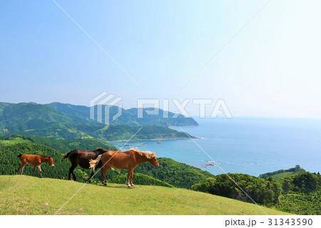 宮崎県 都井岬の馬たち 31343590
