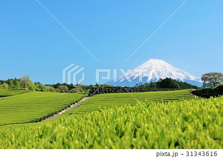 富士山と新緑の茶畑 31343616