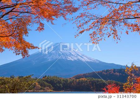 河口湖の紅葉と富士山 31343700