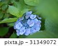 青い紫陽花 31349072