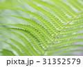 シダ植物の葉のアップ 31352579